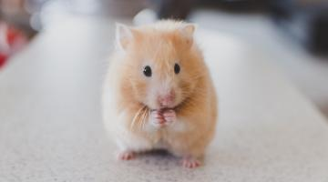 A hamster standing on its two back legs